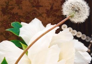 taracacum officinale dandelion peonie loewenzahn pov