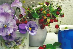 viola tricolores blue pot pov