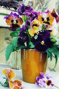 violet yellow pansies poc