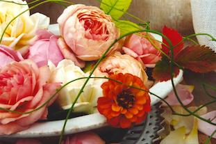 zinnia david austen roses pov
