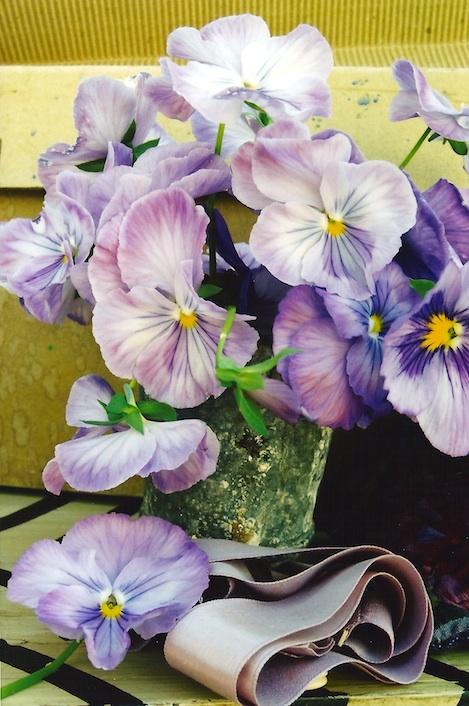 Viola tricolor band poc